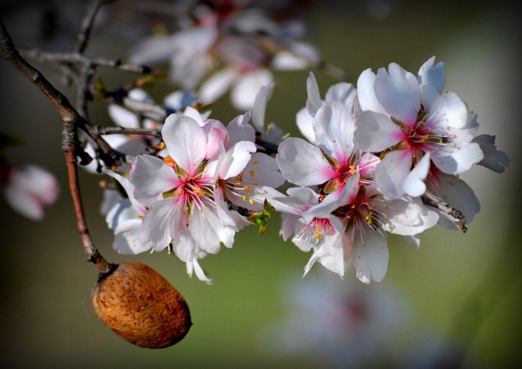 Bademin olağanüstü güzellikteki çiçekleri bazen geçen yıldan kalma sert kabuklu meyve henüz düşmeden açar, bazen yeşil çağlalarıyla birlikte göz kırpar.