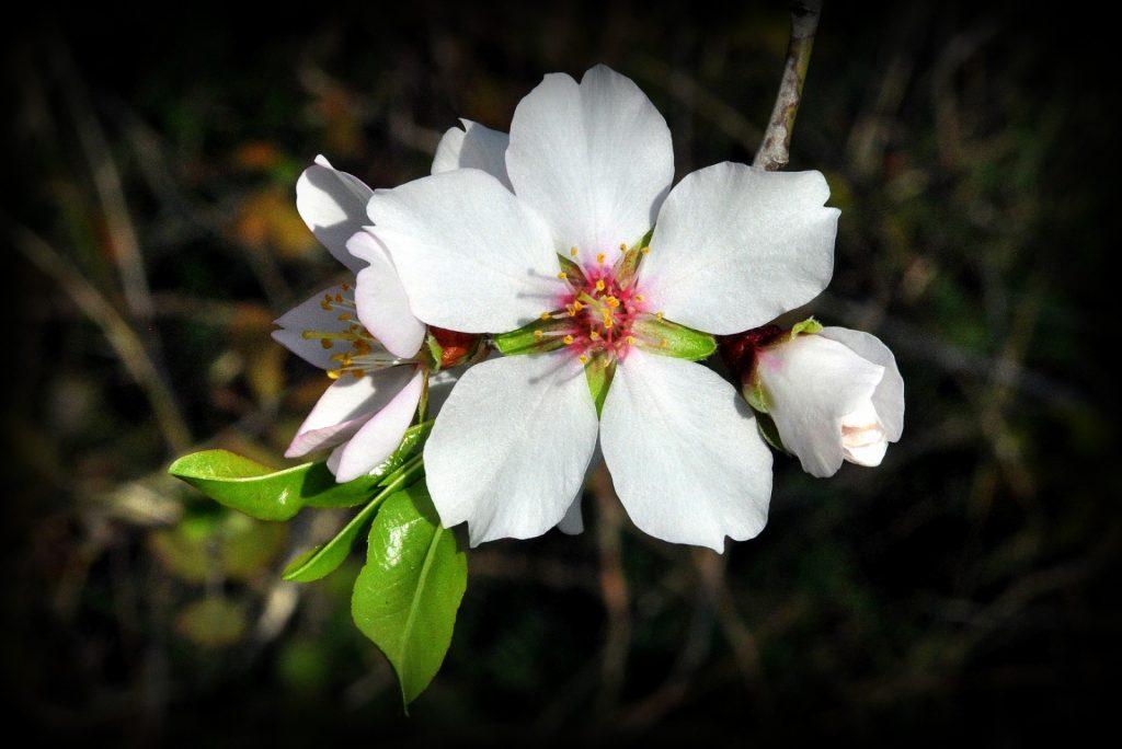 Anadolu'nun en değerli ağaçlarından biri olan badem, beyaz, pembe çiçekleriyle baharı erkenden müjdeler.